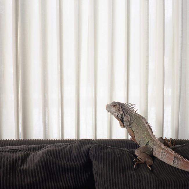 Jade (Iguana)
