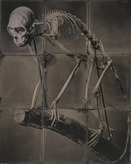 Mona Monkey Skeleton