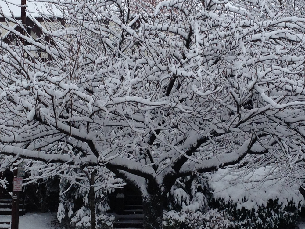The tree in front of our house, always beautiful with snow.