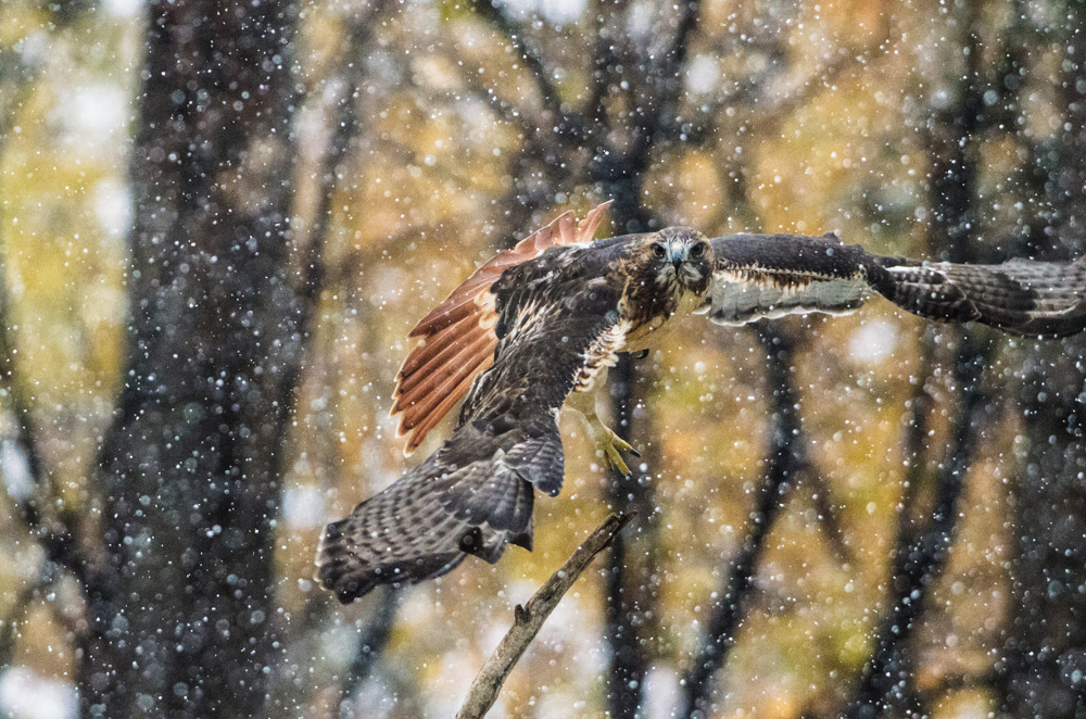 wendi-schneider-red-tail-snow