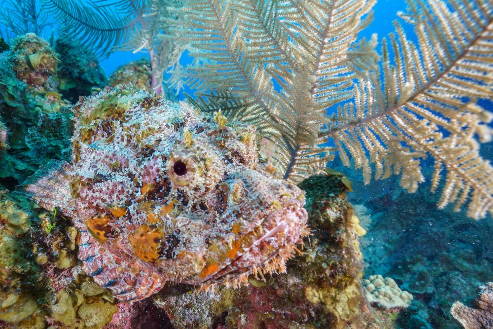 Scorpionfish (1 of 1)