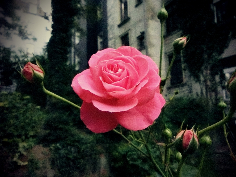 Ulrich Osterloh Backyard Rose