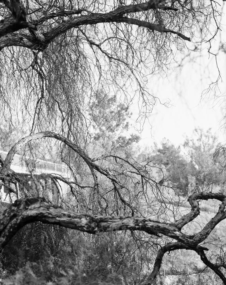 Virginia_Wilcox-Arboreal03