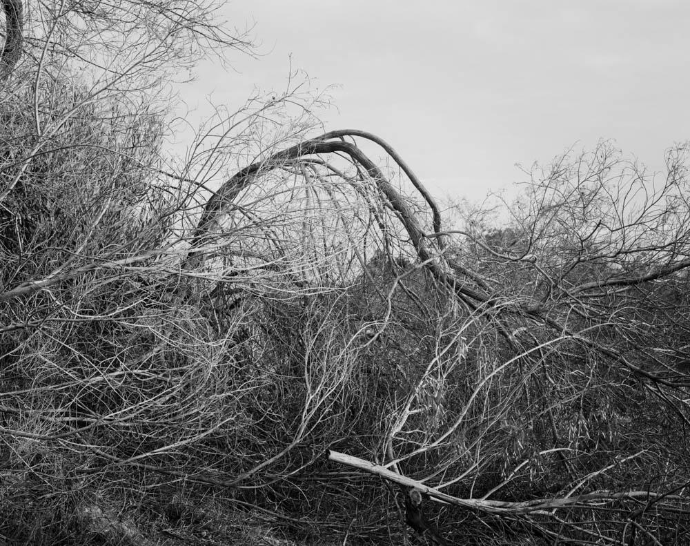 Virginia_Wilcox-Arboreal11