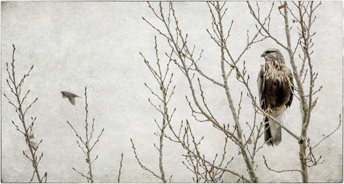 Part II_12_Wendi Schneider; image titled Rough Legged Hawk