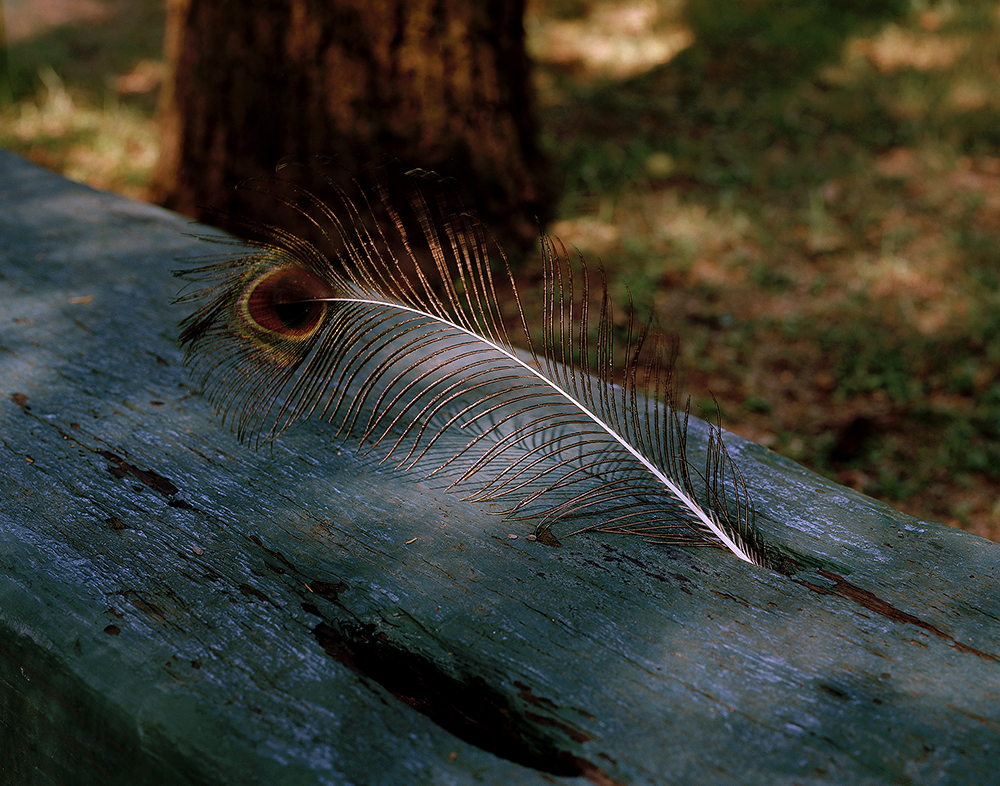 6. Boillot_Rachel_Peacock Feather