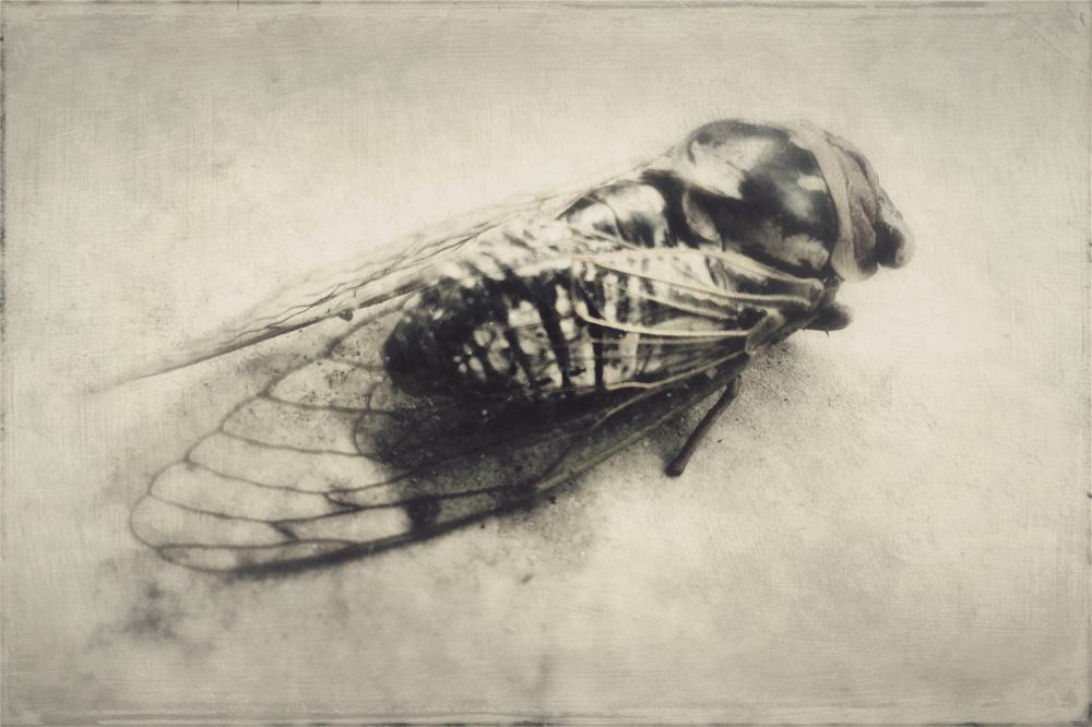 wendi-schneider-cicada