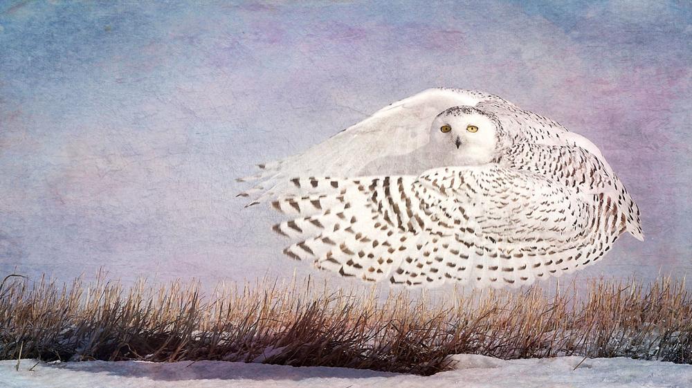 wendi-schneider-snowy-owl-hover