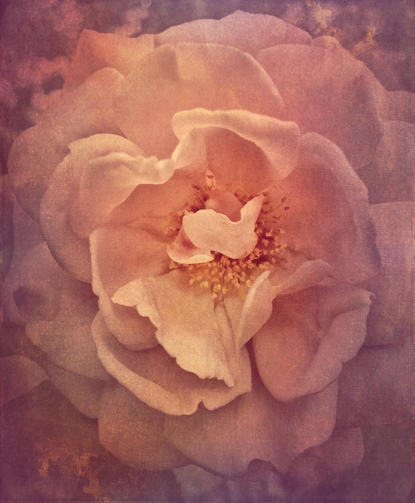 wendi-schneider-tudor-rose