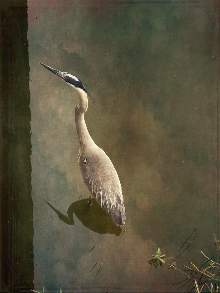 wendi-schneider-young-great-blue-heron