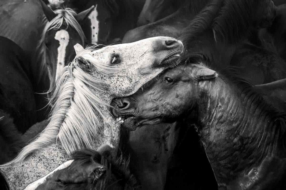 """En Sabucedo Galicia, ( España) más de 600 caballos, llamadas """"bestas"""" a las hembras y """"garañones"""" a los machos, divididos en 14 manadas viven libres en una extensión de más de 200 km² de monte."""