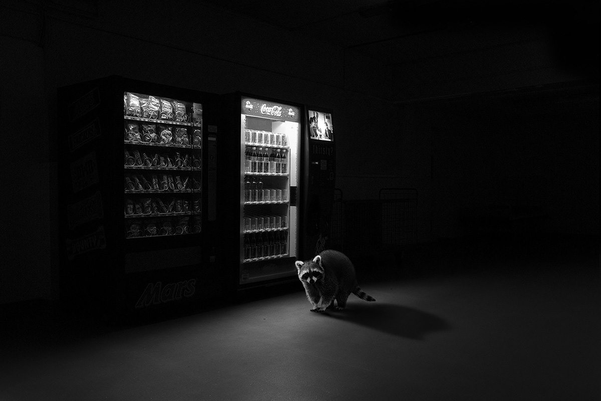 Totem Raccoon-Jason McGroarty(winner3)
