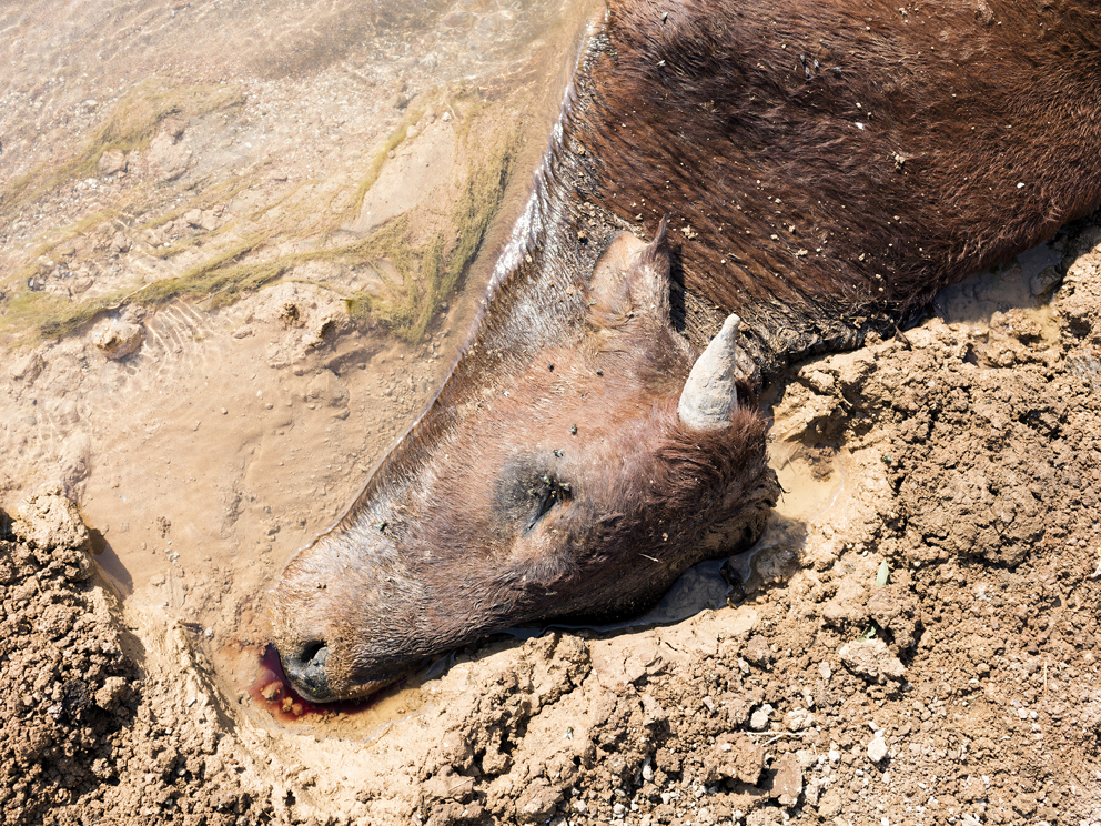 19a - A cow lies dead in a polluted mine stream, Ditwebeleng, Limpopo, Eastern Limb