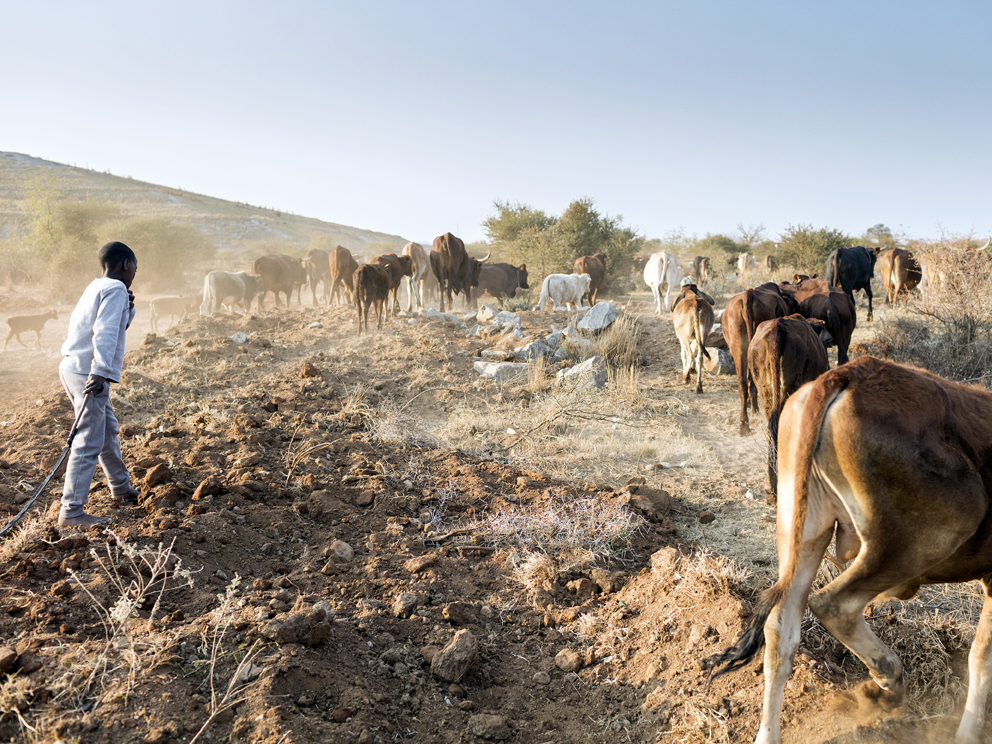 """62 – A young boy herds cattle adjacent to RPM Mogalakwena Mine's tailings dam, Ga-Molekane Village, Mapela, Limpopo, Northern Limb William Nkuna, 51, the head herdsman employed by the community of Ga-Molekane to supervise the safe grazing of livestock in the area, recalls a time when cattle could roam as far as the mountains of Mohlohlo. """"When we were growing up here there was plenty of grazing land. Now the mine has taken that all away. We had land to farm, land to live. Now we have nothing."""" Due to the increasing pressure to feed his livestock and the ongoing financial constraints on William and his family, he has sold off 15 head of cattle in recent times to give his child the chance to go to school."""