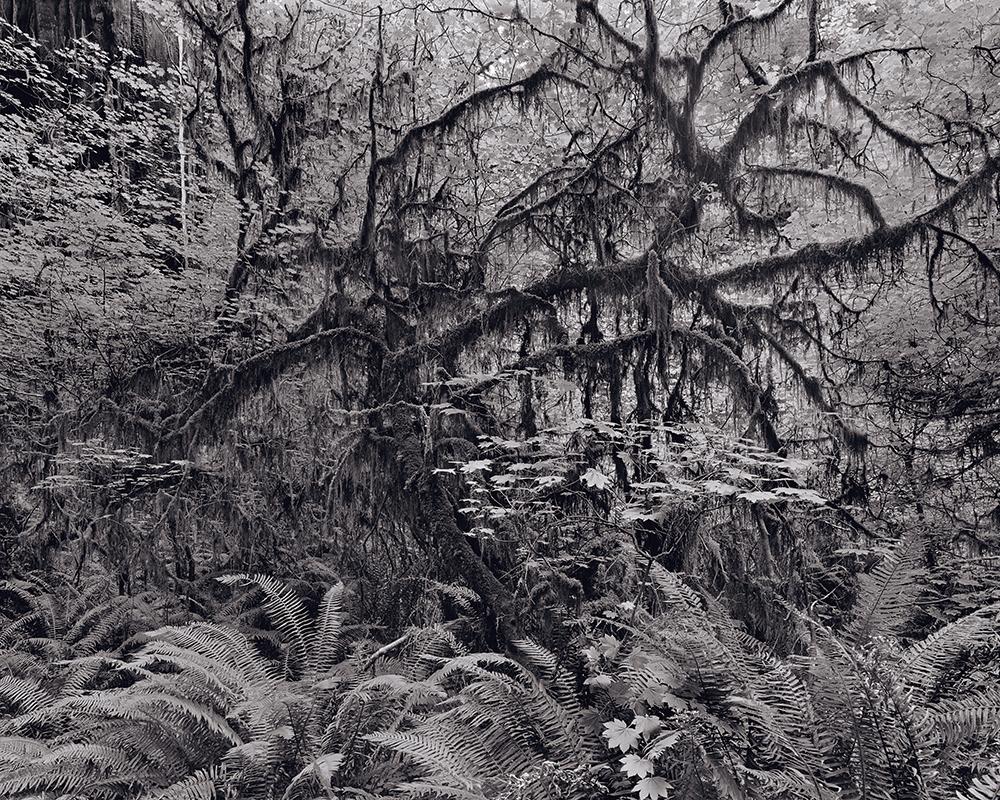 05_RichardRothman_RedwoodSaw_Redwoods_1000w 72dpi_5_9900