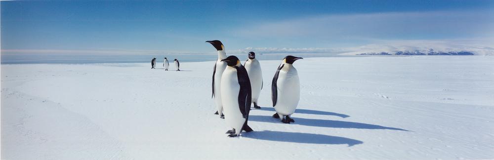 10- Emperor penquins, Antarctica, 1999