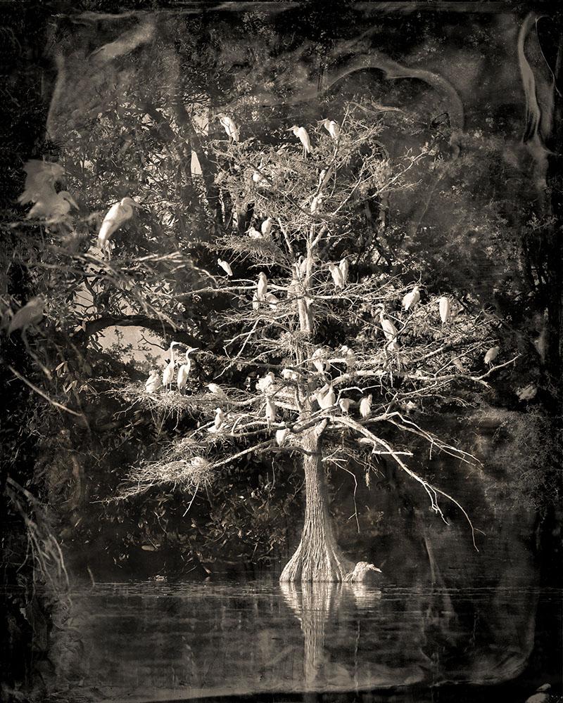 NESTING TREE STUDY #1 2013