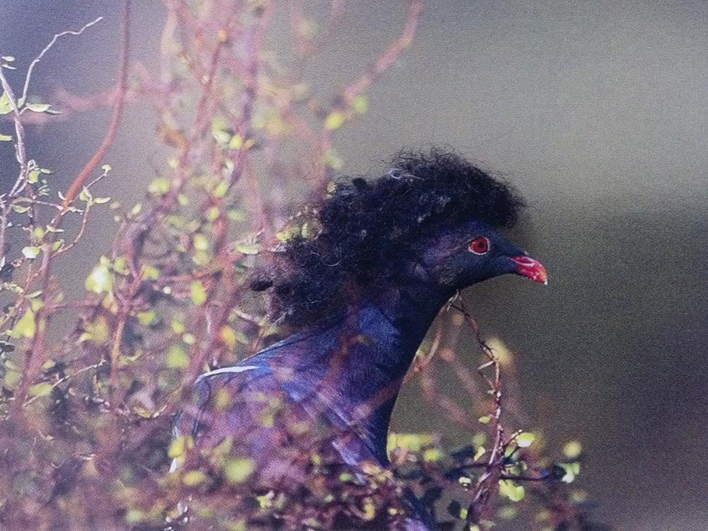 Wigeon