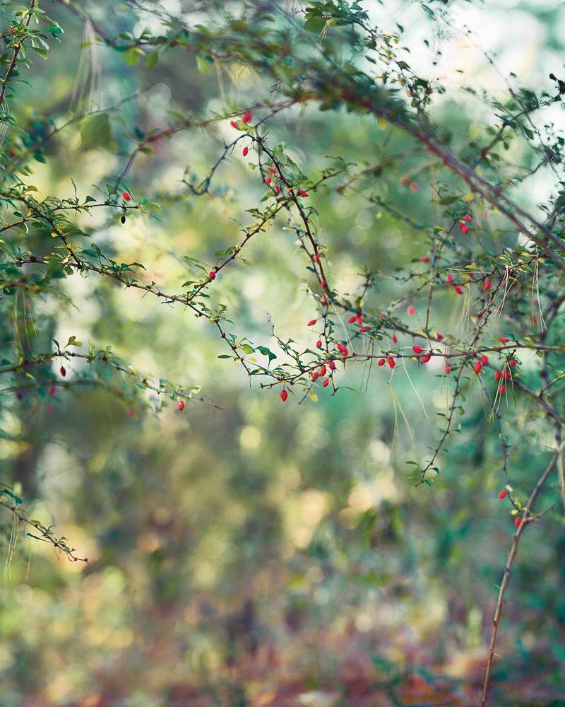 Red Berries_v3