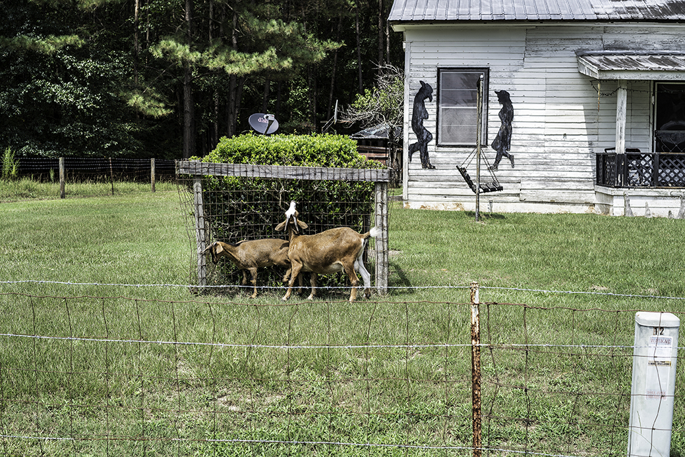 Bunnen_Goats