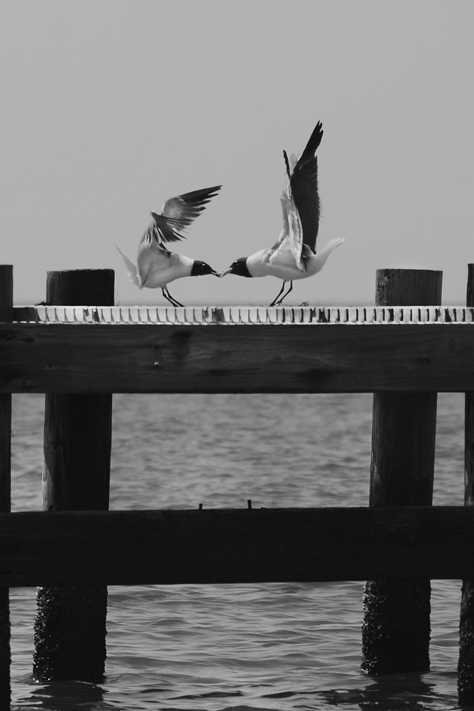 Black and white photo of a mother gull feeding its baby on a Lake Pontchartrain pier.