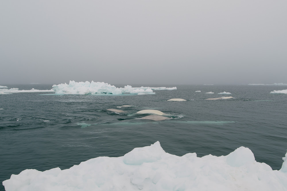 Beluga whales migrate along the same path as Bowhead whales, in pods of hundreds. These belugas are not hunted during the Iñupiaq whaling season-- there is a time and place for that.