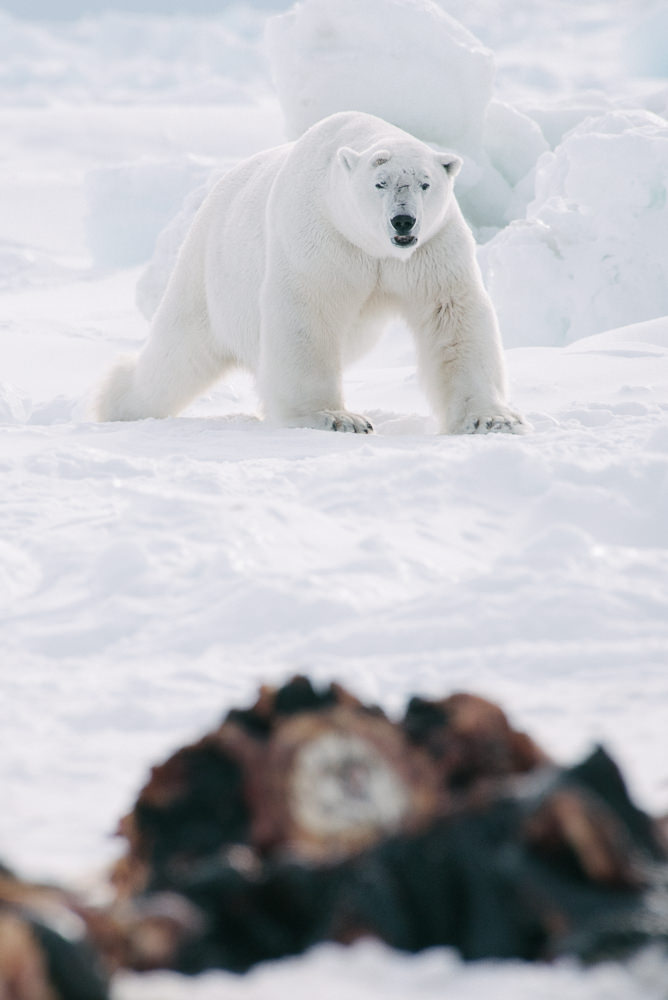 A large polar bear investigates the freshly butchered carcass of a bowhead whale. The scent of this whale attracted 13 polar bears in a single day, which presented considerable danger to the wary Iñupiaq whalers who nonetheless allowed the bears to feed.