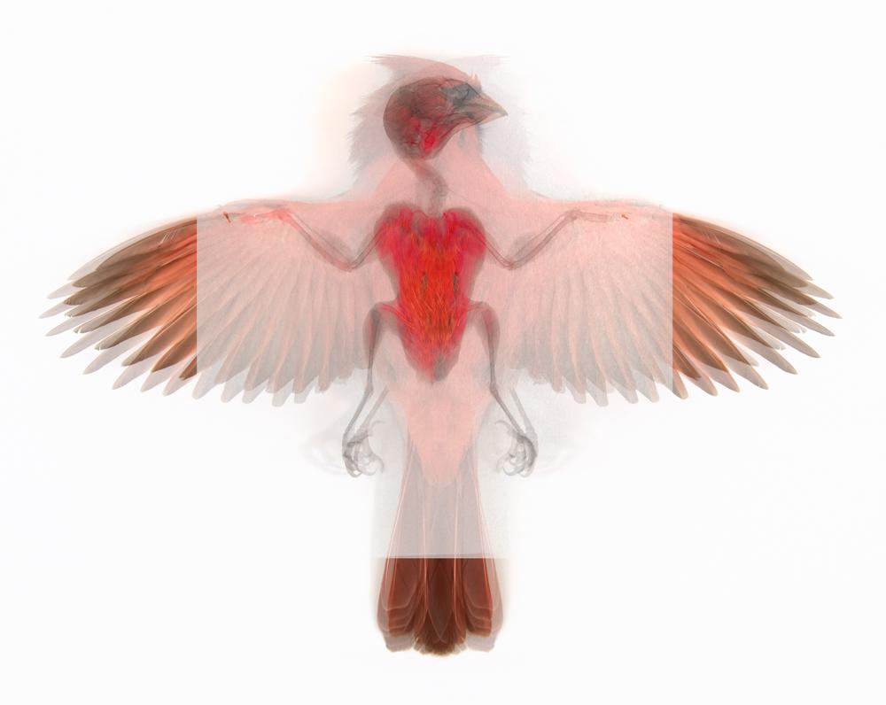 1 Northern Cardinal (Cardinalis cardinalis)