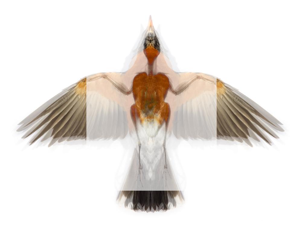 4 American Robin (Turdus migratorius)