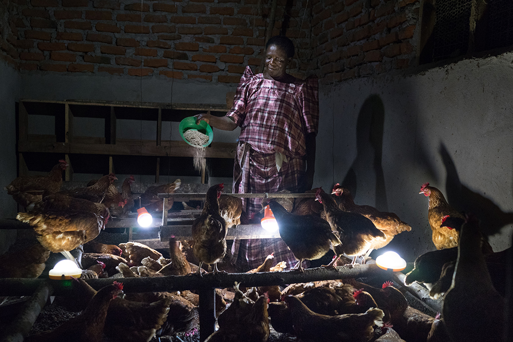 (May 30th, 2015) Margaret Katende (60) feeds chickens at night in her farm in Manyanma, Uganda. Chickens do not eat in the dark, so using solar light, she is able to feed them twice a day, allowing them to get bigger faster and to lay higher quality eggs. The portrait was set up using solar lights as the only source of ilumination.