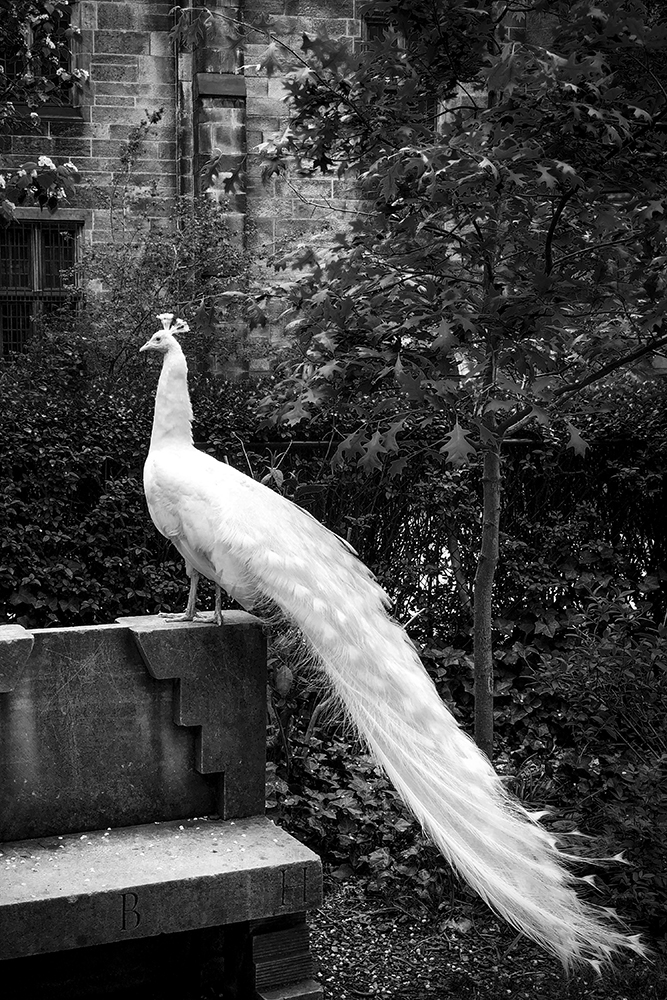 11_WHITE PEACOCK, NYC