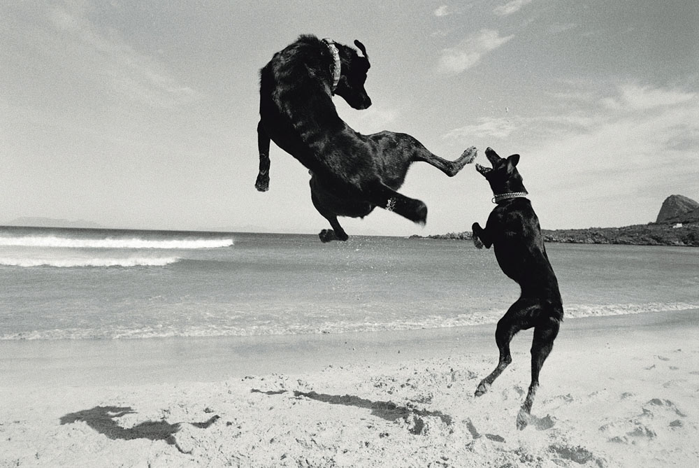 Two dogs - playing on Pringle Bay beach 1999/2000 Graeme Williams