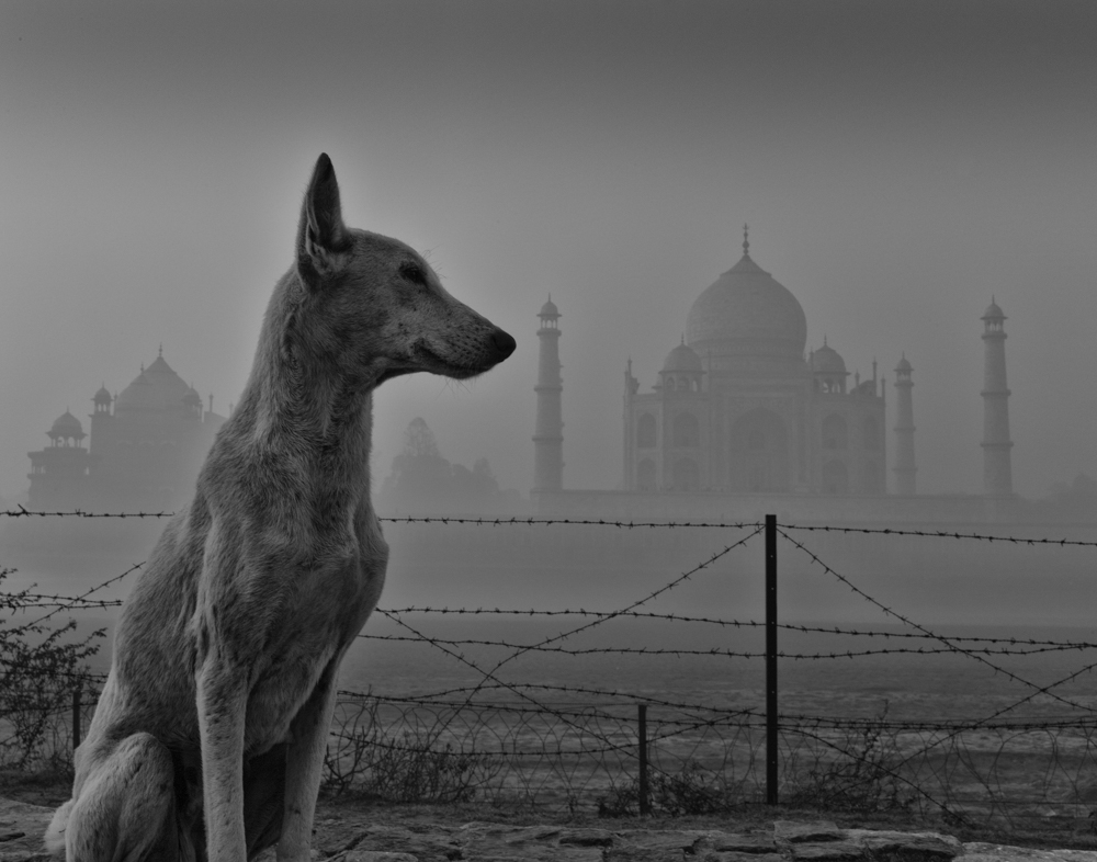 Stray Dog Across  Yamuna River from Taj Mahal