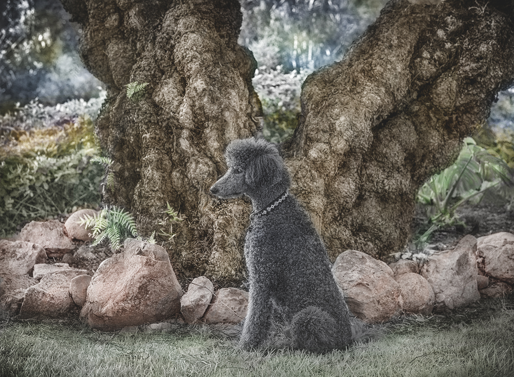 Poodle sits in front of an old tree,