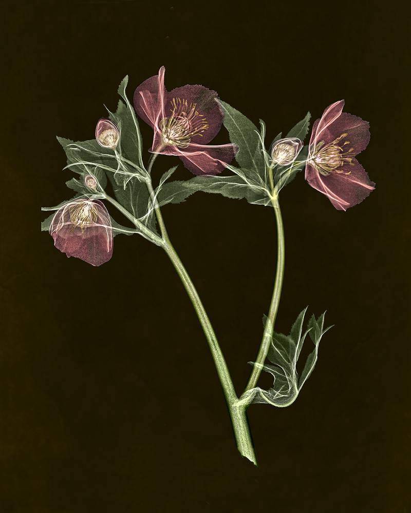 Lenten Rose-AllanGill-dnj-1of8-16X20in-print
