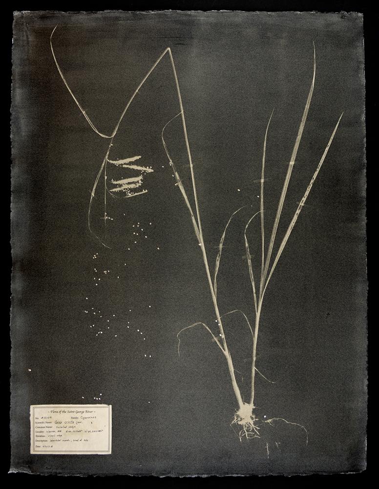 Witman_#00109-Carex-crinita