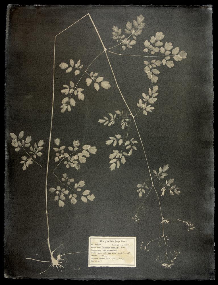 Witman_#00112-Thalictrum-pubescens