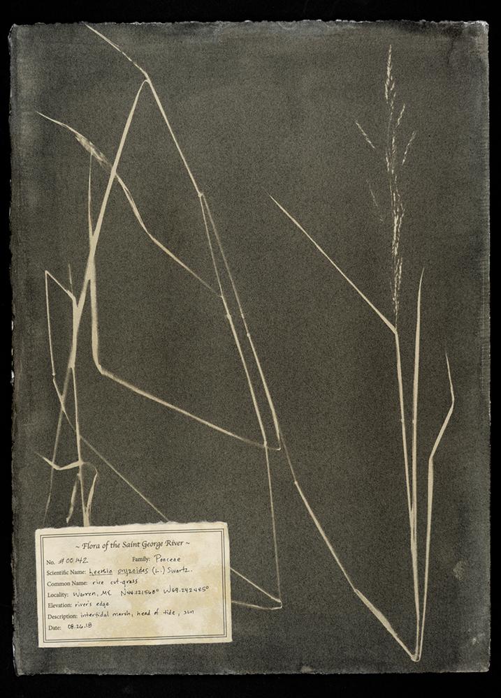 Witman_#00142-Leersia-oryzoides