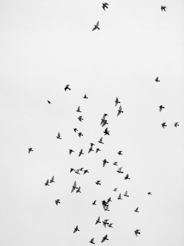 Pigeon migration