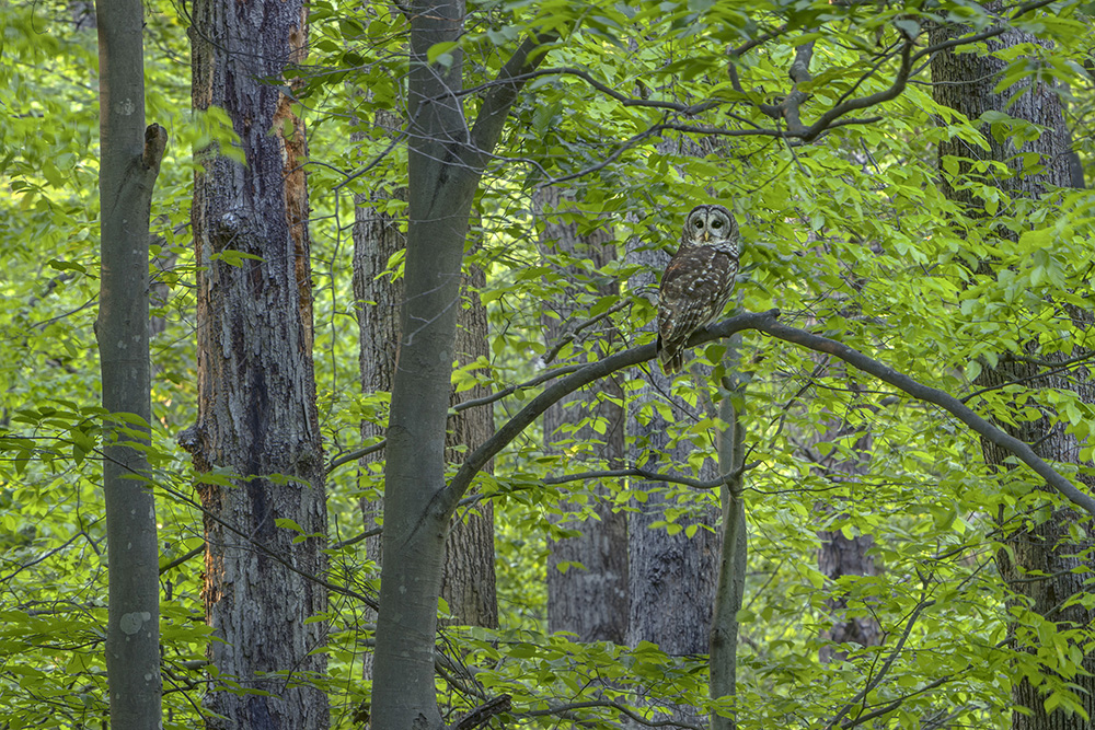 003_Barred Owl-4_26