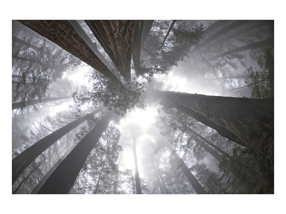 ADAM_ROSE_Redwoods
