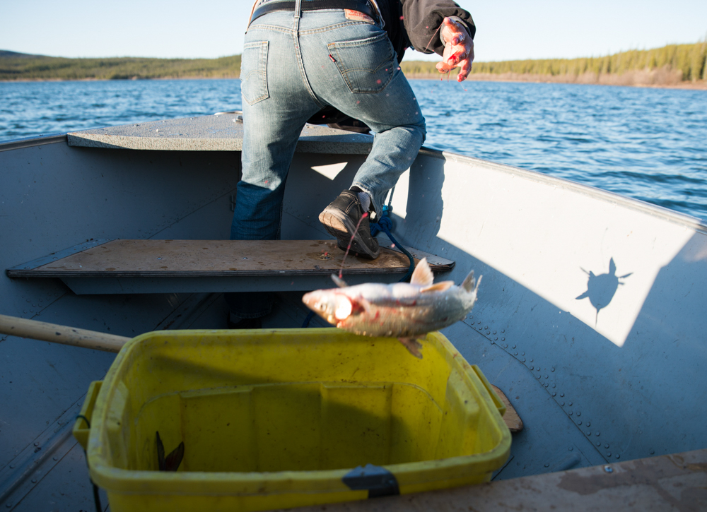 One of the staple foods in the Northwest Territories, no matter where you are, is fish. Here, a whitefish is chucked into a bin to be cooked over a fire at a camp near Lutsel K'e, Northwest Territories. The roe and head are particluar delicacies.
