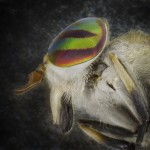01_Horse Fly