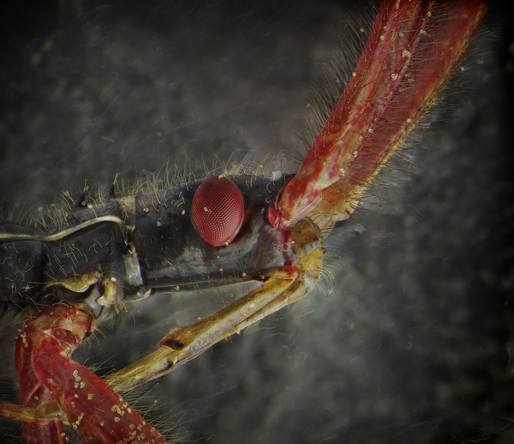 03_Assassin Bug