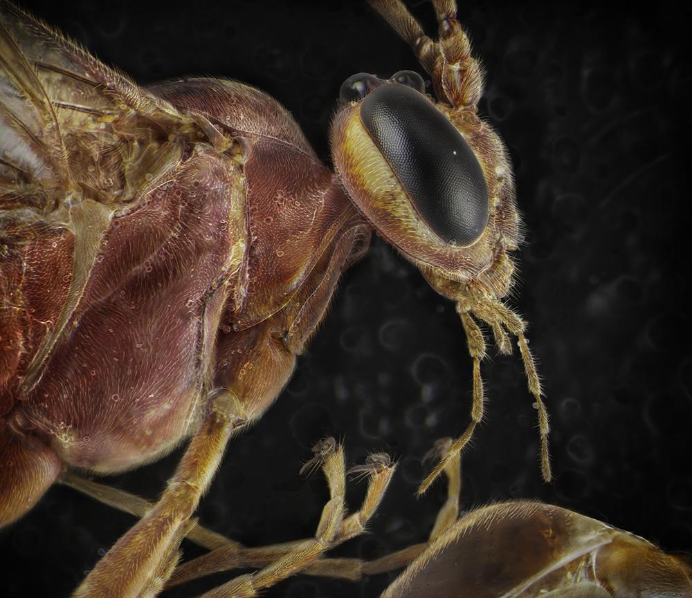 08_Ophionine Ichneumon Wasp