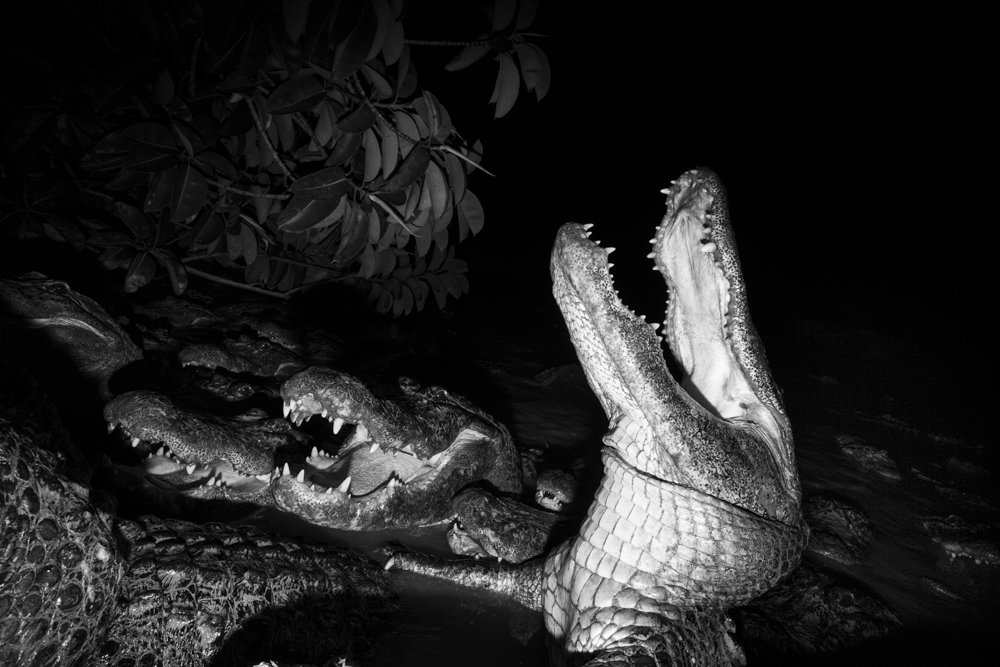 004_004_American_Alligators_Two_2017