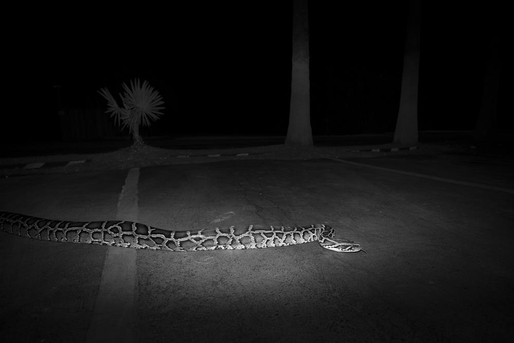 008_Invasive_Burmese_Python, Parking_Lot_Everglades_DX_1573