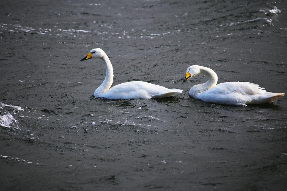 Swans in Rain