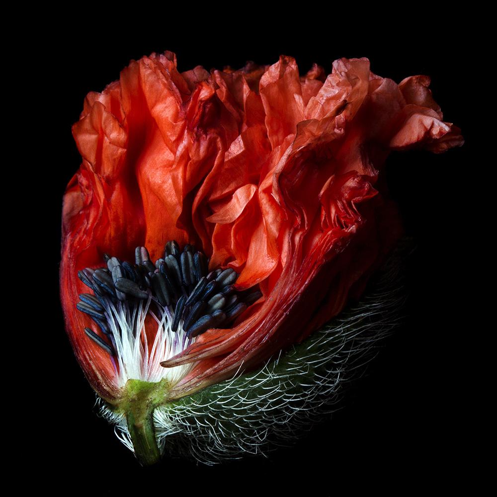 Molly Wood Poppy 1019