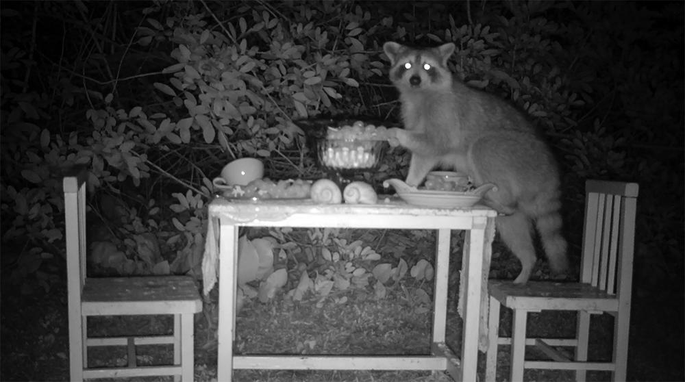 11_raccoon